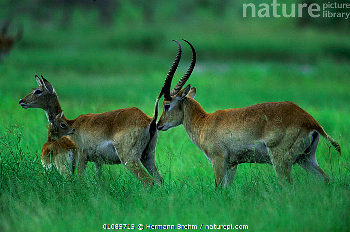 Lechwe male sniffing female to check if she is in oestrus {Kobus leche} Botswana  ,  AFRICA,ARTIODACTYLA,BOTSWANA,FAMILIES,FEMALES,HORIZONTAL,MALES,MAMMALS,MATING BEHAVIOUR,SNIFFING,SOUTHERN AFRICA,TB,WETLANDS,REPRODUCTION  ,  Hermann Brehm