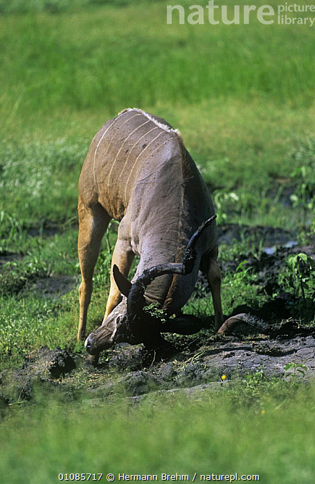 Greater kudu {Tragelaphus strepsiceros} male rubbing mud onto horn to attract female, Botswana  ,  ANTELOPES,ARTIODACTYLA,BOVIDS,MALES,MAMMALS,MATING BEHAVIOUR,SOUTHERN AFRICA,VERTEBRATES,VERTICAL,Reproduction  ,  Hermann Brehm