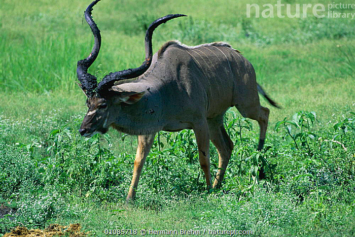 Greater kudu male with mud on horn to attract female Botswana {Tragelaphus strepsiceros}  ,  AFRICA,ARTIODACTYLA,HORIZONTAL,HORN,HORNS,MALES,MAMMALS,MATING BEHAVIOUR,MUD,REPRODUCTION,SOUTHERN AFRICA,TB  ,  Hermann Brehm