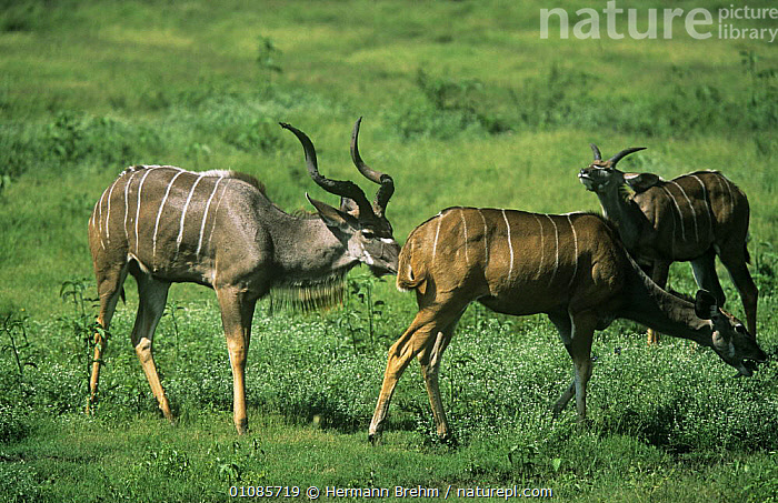 Greater kudu {Tragelaphus strepsiceros} male sniffing female to check if she is in oestrus,  second male in background showing flehmen response, Botswana  ,  ANTELOPES,ARTIODACTYLA,BOVIDS,MALE FEMALE PAIR,MALES,MAMMALS,MATING BEHAVIOUR,VERTEBRATES,Reproduction  ,  Hermann Brehm