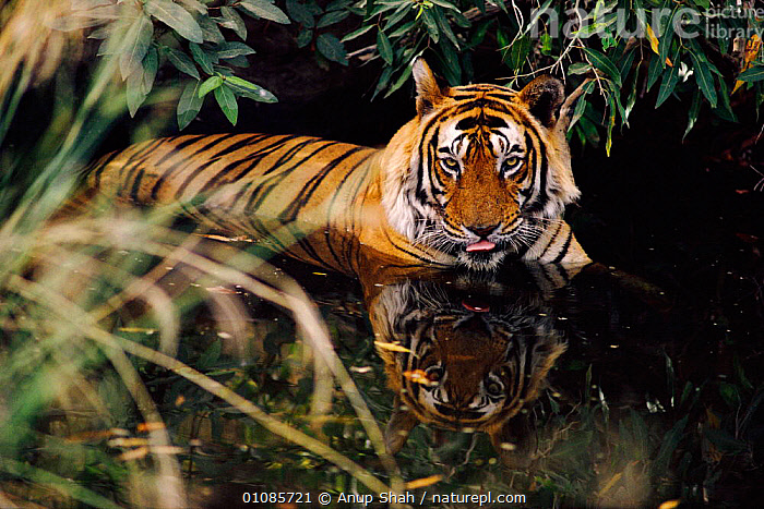 Tiger cooling down in water {Panthera tigris tigris} Ranthambhore NP, Rajasthan India  ,  AS,BIG CATS,CARNIVORES,CAT,COOL,DAKU,ENDANGERED,HORIZONTAL,INDIA,INDIAN SUBCONTINENT,MALES,MAMMALS,NP,RAJASTHAN,RANTHAMBHORE,RESTING,SHAH,THERMOREGULATION,THREATENED,TIGERS,WATER,ASIA,NATIONAL PARK  ,  Anup Shah