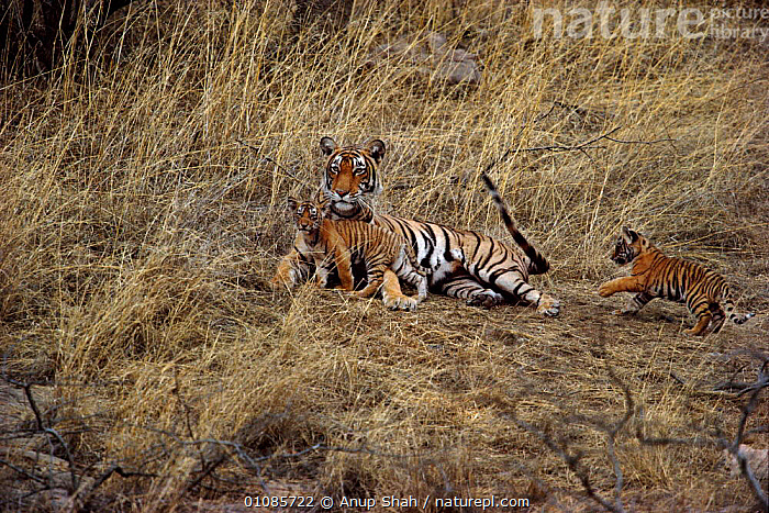 Tigress with cubs playing with her tail {Panthera tigris tigris} Ranthambore NP, Rajasthan, India. Noorjahan with 2 of 3 cubs.  ,  AS,BIG CATS,CARNIVORES,CUB,CUBS,CUTE,ENDANGERED,FAMILIES,HORIZONTAL,INDIA,INDIAN SUBCONTINENT,JUVENILE,MAMMALS,MATERNAL,MOTHER,NOORJAHAN,NP,PLAY,PLAYING,RAJASTHAN,RANTHAMBORE,THREATENED,THREE,TIGERS,YOUNG,ASIA,COMMUNICATION,NATIONAL PARK  ,  Anup Shah