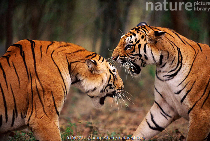 Subadult tigers fighting and snarling {Panthera tigris tigris} Ranthambhore NP, Rajasthan India  ,  AGGRESSION,AS,BIG CATS,CARNIVORES,ENDANGERED,FIERCE,FIGHTING,HORIZONTAL,INDIA,INDIAN SUBCONTINENT,MALES,MAMMALS,NP,POWERFUL,RANTHAMBHORE,SNARLING,STRIPES,TEETH,THREATENED,TIGERS,TWO,ASIA,CONCEPTS,NATIONAL PARK  ,  Anup Shah