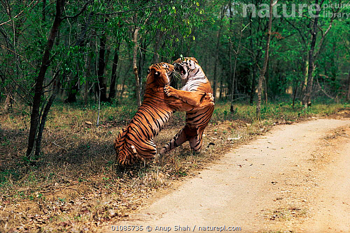 Male Bengal tigers fighting by road track {Panthera tigris tigris} Ranthambhore NP India Rajasthan  ,  ACTION,AGGRESSION,AS,BIG CATS,CARNIVORES,DOMINANCE,ENDANGERED,FIERCE,FIGHTING,HORIZONTAL,INDIA,INDIAN SUBCONTINENT,MALE,MALES,MAMMALS,NP,POWERFUL,RAJASTHAN,RANTHAMBHORE,SHAH,STRENGTH,TERRITORIAL,THREATENED,TIGERS,TROPICAL DRY FOREST,TWO,ASIA,CONCEPTS,NATIONAL PARK  ,  Anup Shah