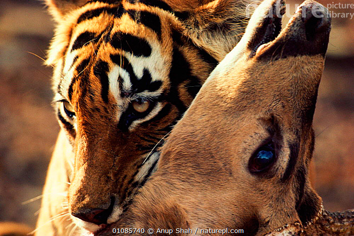 Bengal tiger suffocating chital {Panthera tigris tigris} Ranthambhore NP India Rajasthan. Noorjahan, AS,BIG CATS,CARNIVORES,CHITAL,CLOSE UPS,DEATH,DEER,DRAMATIC,ENDANGERED,FACES,FEMALES,HEADS,HORIZONTAL,INDIA,INDIAN SUBCONTINENT,KILLING,MAMMALS,NOORJAHAN,NP,PREDATION,PREY,RAJASTHAN,RANTHAMBHORE,SHAH,STRIPES,SUFFOCATING,THREATENED,TIGERS,ASIA,BEHAVIOUR,NATIONAL PARK, Anup Shah