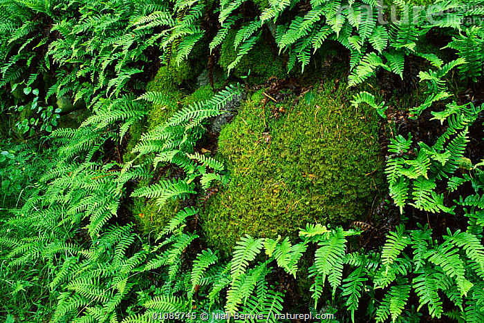 Common polypody fern {Polypodium vulgare} and moss, Slitere NP,  Latvia  ,  ,FERN,GREEN,HORIZONTAL,MIXED SPECIES,MOSS,NB,NP,PLANTS,RESERVE,NATIONAL PARK  ,  Niall Benvie