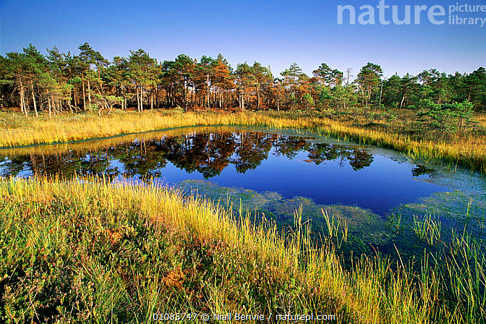 Landscape with pine trees, bog, heather and reeds.  Kemeri NP, Latvia  ,  BOG,BOGS,CONIFEROUS,HEATHER,HORIZONTAL,KEMERI,LANDSCAPE,LANDSCAPES,MIXED SPECIES,NATIONAL PARK,NB,NP,PINE,PLANTS,REEDS,REFLECTIONS,RESERVE,SCENIC,TREES,WETLANDS  ,  Niall Benvie