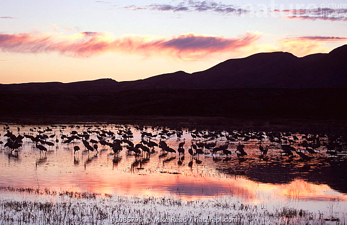Sandhill cranes {Grus canadensis} in wetlands at dusk, Bosque del Apache, New Mexico, USA  ,  BIRDS,CRANES,DUSK,EVENING,FEEDING,FLOCKS,MIGRATION,NORTH AMERICA,RESERVE,SILHOUETTES,SUNSET,USA,VERTEBRATES,WADING BIRDS,WATER,WETLANDS  ,  Mike Read