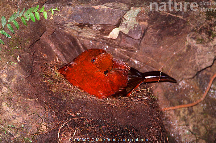 Andean cock of the rock female sitting on nest {Rupicola peruvianus} Tandayapa, Ecuador, South America  ,  BIRDS, COCK-OF-THE-ROCKS, FEMALES, HORIZONTAL, NESTS, TROPICAL-RAINFOREST, VERTEBRATES  ,  Mike Read