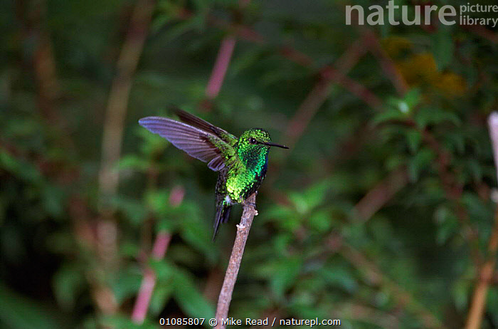 Western emerald alighting on perch {Chlorostilbon sp} Tandayapa, Ecuador  ,  TROPICAL RAINFOREST,VERTICAL,IRRIDESCENT,HUMMINGBIRDS,BIRDS,WINGS,SOUTH AMERICA  ,  Mike Read