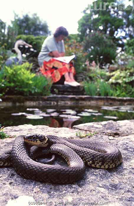 Grass snake in garden near seated woman {Natrix natrix} Purbeck, Dorset, UK  ,  COLUBRIDS,ENGLAND,EUROPE,GARDENS,PEOPLE,PONDS,REPTILES,SNAKES,UK,VERTEBRATES,VERTICAL,WOMAN,United Kingdom,British,Plants  ,  Tony Phelps