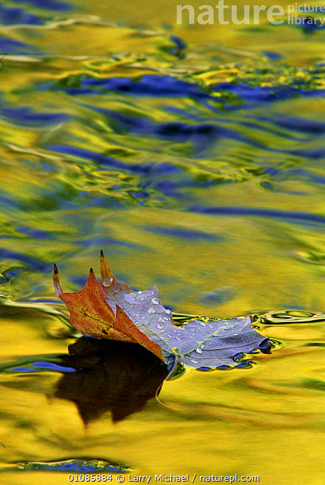Fallen leaf on water with autumn reflections, Michigan USA  ,  ABSTRACT,AUTUMN,FALLEN,LEAF,LEAVES,LM,OUTSTANDING,REFLECTIONS,USA,WATER,NORTH AMERICA  ,  Larry Michael