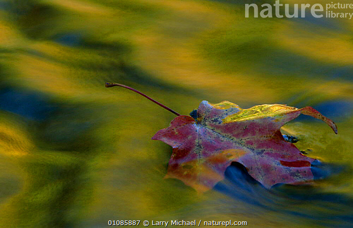 Fallen leaf on water with autumn reflections. Michigan USA  ,  ABSTRACT,AUTUMN,FALLEN,HORIZONTAL,LEAF,LEAVES,LM,REFLECTIONS,USA,WATER,NORTH AMERICA  ,  Larry Michael