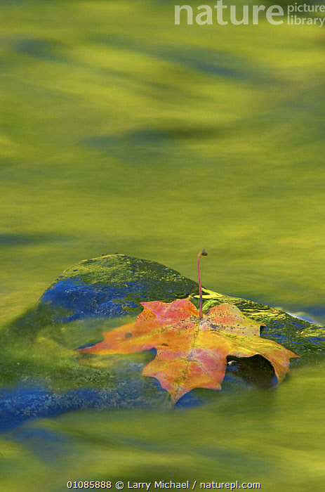 Nature abstract of Fallen leaf on rock in water, with autumn reflections, Michigan, USA  ,  ABSTRACT,ARTY SHOTS,AUTUMN,LEAVES,REFLECTIONS,USA,VERTICAL,WATER,North America  ,  Larry Michael