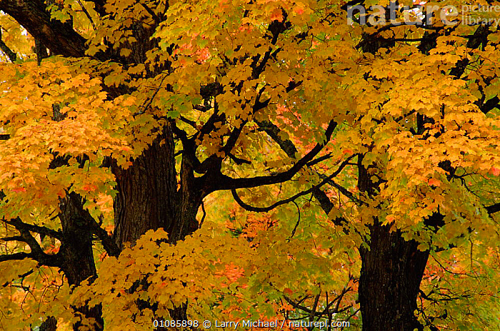 Autumn tree leaves abstract. Michigan USA  ,  AUTUMN,COLOURFUL,COLOURS,FALL,HORIZONTAL,LEAF,LM,OUTSTANDING,TREES,USA,YELLOW,NORTH AMERICA,PLANTS  ,  Larry Michael