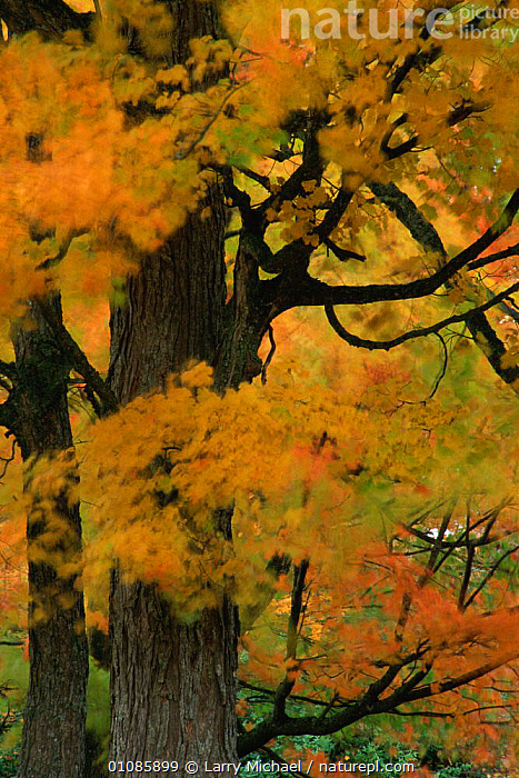 Autumn tree leaves abstract. Michigan USA. North America  ,  ABSTRACT,ARTY SHOTS,AUTUMN,FALL,LEAF,LEAVES,LM,OUTSTANDING,TREE,TREES,USA,VERTICAL,NORTH AMERICA,PLANTS  ,  Larry Michael