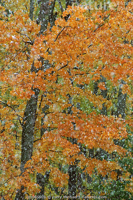 Autumn trees and snow abstract. Michigan USA  ,  ABSTRACT,AUTUMN,FALL,LEAVES,LM,OUTSTANDING,SNOW,SNOWING,TREES,USA,VERTICAL,WINTER,NORTH AMERICA,PLANTS  ,  Larry Michael