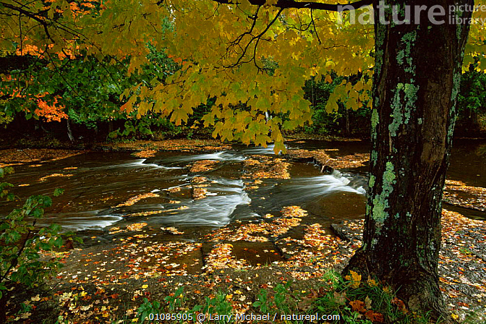Stream in autumn woodland, near Lake Superior, Michigan, USA  ,  AUTUMN,BROADLEAF,LANDSCAPES,LEAVES,NORTH AMERICA,RIVERS,streams,TREES,USA,WOODLANDS,Plants  ,  Larry Michael