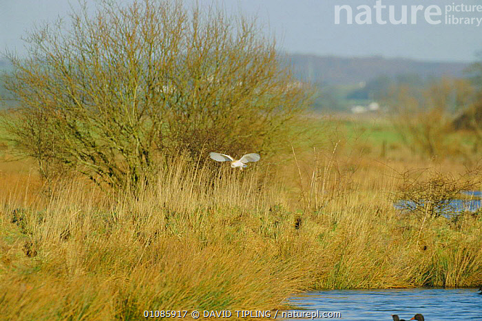 Barn owl hunting over rough grassland {Tyto alba} England  ,  HABITAT,LANDSCAPES,OWLS,FLYING,UK,EUROPE,BIRDS,FLIGHT,TREES,GRASSLANDS,BIRDS OF PREY,United Kingdom,Plants,British,Raptor  ,  DAVID TIPLING