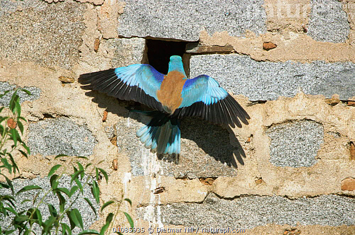 Common roller entering nesthole in wall {Coracias garrulus} Extremadura, Spain  ,  BIRD,BIRDS,BLUE,COLOURFULL,DN,EUROPE,EXTREMADURA,GARRULUS,HORIZONTAL,NESTHOLE,NESTS,ONE,SPAIN,WALL,WINGS  ,  Dietmar Nill