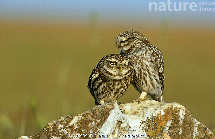 Little owl pair {Athene noctua} Extremadura, Spain  ,  BIRDS,BIRDS OF PREY,CUTE,EUROPE,FRIENDSHIP,HORIZONTAL,LITTLE,MALE FEMALE PAIR,OWLS,SPAIN,VERTEBRATES,Concepts,Raptor  ,  Dietmar Nill