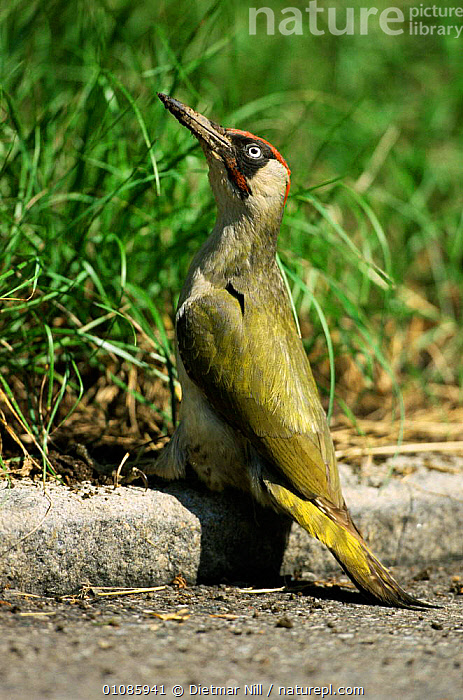Green woodpecker male {Picus viridis} on ground, Germany  ,  BIRDS,DN,EUROPE,GERMANY,MALES,PORTRAITS,VERTICAL  ,  Dietmar Nill