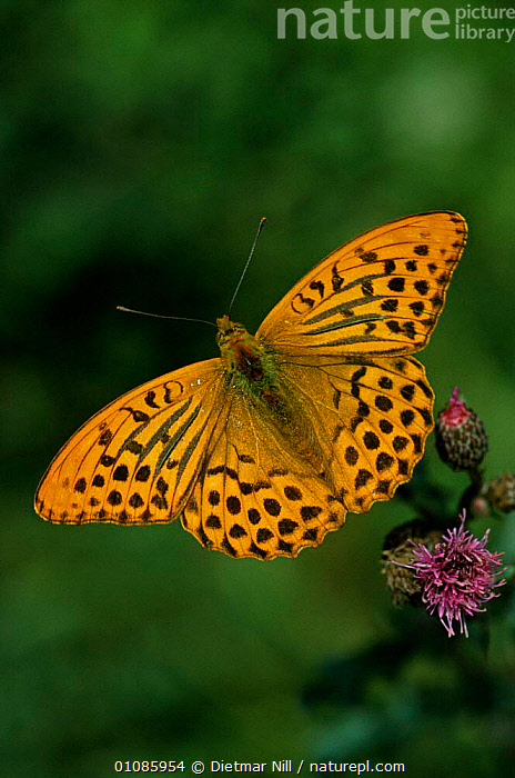 Silver washed fritillary butterfly portrait {Argynnis paphia} Germany  ,  DN,EUROPE,FLOWERS,GERMANY,INSECTS,INVERTEBRATES,LEPIDOPTERA,ONE,OPEN,ORANGE,THERMOREGULATION,VERTICAL,WINGS,BUTTERFLIES  ,  Dietmar Nill