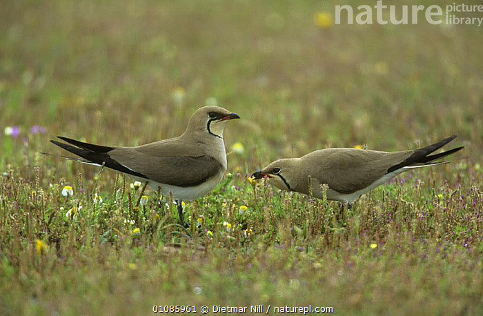 Collared pratincole {Glareola pratincola} pair in mating display, Extremadura, Spain  ,  BIRDS,COURTSHIP,DISPLAY,EUROPE,MALE FEMALE PAIR,PRATINCOLES,SPAIN,VERTEBRATES,WADERS,Communication  ,  Dietmar Nill