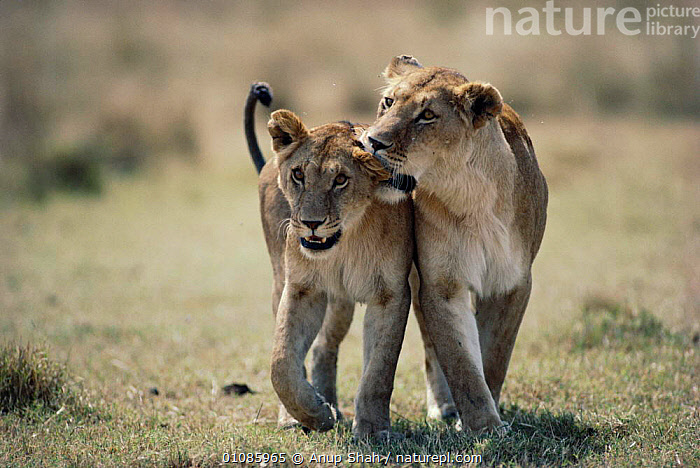 Juvenile lions walking and playing {Panthera leo} East Africa  ,  AFRICA,CARNIVORES,EAST AFRICA,FRIENDSHIP,HORIZONTAL,JUVENILE,LIONS,MAMMALS,PLAY,TWO,WALKING,YOUNG,CONCEPTS,COMMUNICATION,BIG CATS  ,  Anup Shah