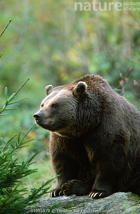 European Brown bear {Ursus arctos} Bavarian Forest NP, Germany  ,  BEARS,CARNIVORES,EUROPE,GERMANY,MAMMALS,NP,PORTRAITS,RESERVE,VERTEBRATES,VERTICAL,WOODLANDS,National Park  ,  Dietmar Nill