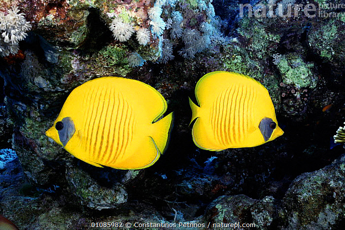 Golden butterfly fish {Chaetodon fasciatus} Red Sea  ,  COLOURFUL,CORAL REEF,CORAL REEFS,FISH,MARINE,TWO,YELLOW  ,  Constantinos Petrinos