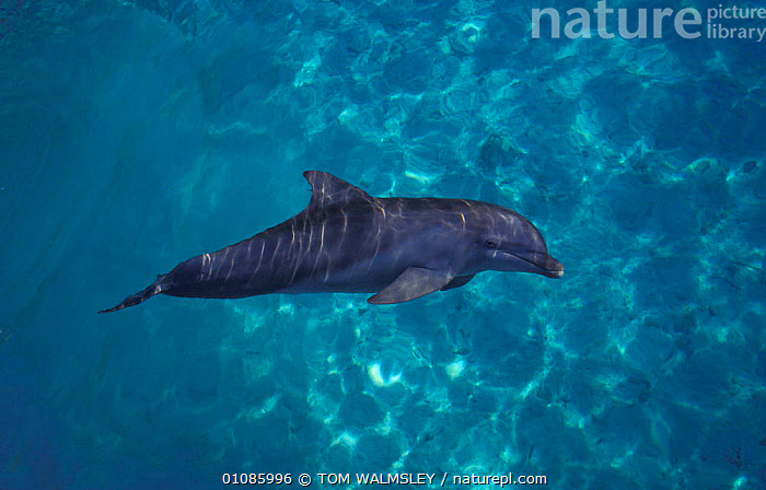 Bottle nosed dolphin {Tursiops truncatus} Bahamas  ,  SURFACE,CAPTIVE,CETACEANS,CARIBBEAN,DOLPHINS,MARINE,MAMMALS,HORIZONTAL,West Indies, Mammals  ,  TOM WALMSLEY