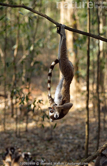 Ring tailed lemur {Lemur catta} hanging off a branch playing with tail, Madagascar  ,  AMUSING,BEHAVIOUR,BRANCHES,COMICAL,GROOMING,HUMOROUS,LEMURS,MADAGASCAR,MAMMALS,PLAYFUL,PRIMATES,TAILS,TREES,VERTEBRATES,VERTICAL,Concepts,Plants  ,  Bernard Walton