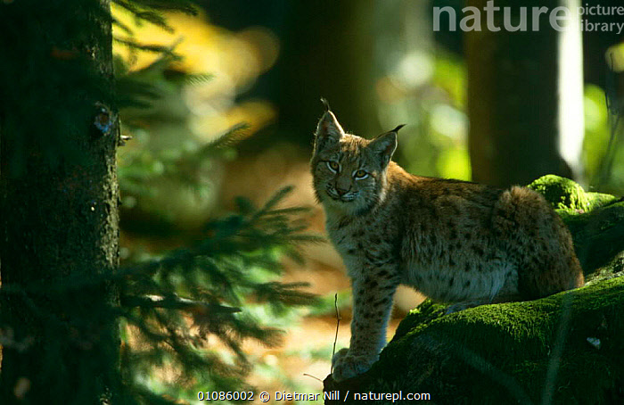 European lynx {Lynx lynx} Bavarian forest NP, Germany  ,  CARNIVORES,CATS,EUROPE,GERMANY,MAMMALS,RESERVE,VERTEBRATES  ,  Dietmar Nill
