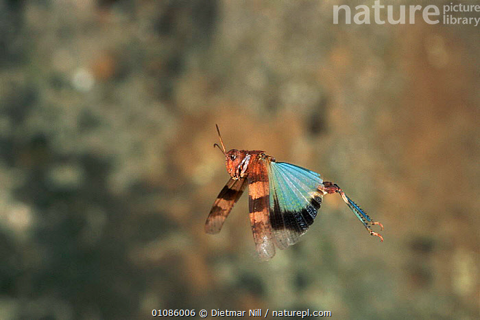 Blue winged grasshopper flying {Oedipoda caerulescens} showing blue wings, Sardinia  ,  ACTION,DIETMAR,EUROPE,FLYING,HORIZONTAL,INSECTS,INVERTEBRATES,ORTHOPTERA,VERTICAL,WINGS  ,  Dietmar Nill