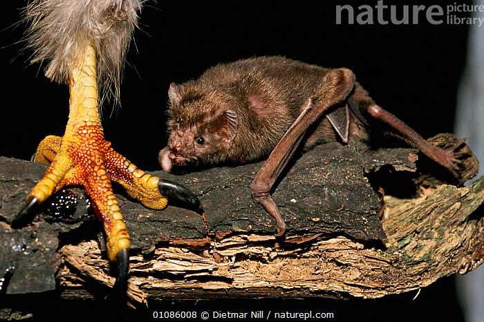 Common vampire bat {Desmodus rotundus} feeds off blood from bird's foot. Central America  ,  BIRD,BLOOD,CENTRAL AMERICA,CHIROPTERA,DN,FEEDING,FEET,FOOT,HORIZONTAL,MAMMALS,Catalogue1  ,  Dietmar Nill