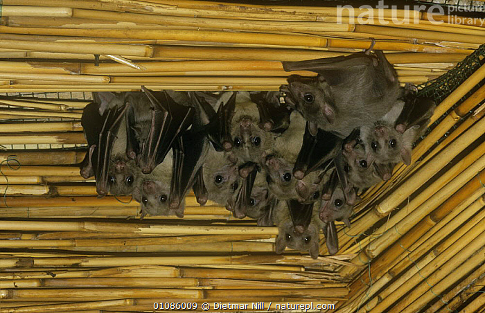 Roussette fruit bats {Rousettus aegyptiacus} roosting under bamboo roof, Egypt  ,  BATS,BUILDINGS,CHIROPTERA,FRUIT BATS,GROUPS,MAMMALS,NORTH AFRICA,VERTEBRATES,Africa  ,  Dietmar Nill