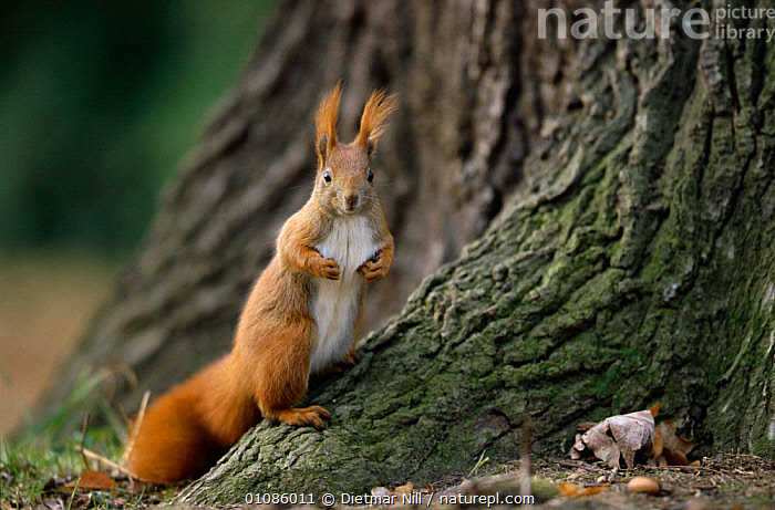 Red squirrel {Scuirus vulgaris} Germany  ,  DN,EUROPE,GERMANY,HORIZONTAL,MAMMALS,RODENTS,TREES,TRUNKS,WOODLANDS,PLANTS  ,  Dietmar Nill