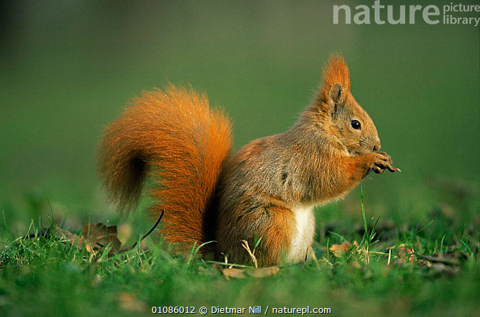 Profile portrait of feeding Red squirrel {Scuirus vulgaris} Germany  ,  EUROPE,FEEDING,GERMANY,MAMMALS,PORTRAITS,PROFILE,RED,rodents,SQUIRRELS,VERTEBRATES  ,  Dietmar Nill