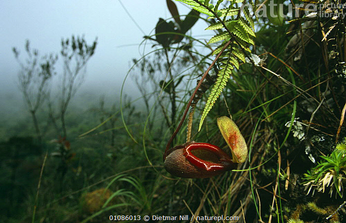 Pitcher plant {Nepenthes sp} Mt Kinabalu, Borneo Malaysia indonesia  ,  DICOTYLEDONS,HIGHLANDS,HORIZONTAL,INDONESIA,INSECTIVOROUS,MIST,NEPENTHACEAE,PLANTS,SOUTH EAST ASIA,Asia  ,  Dietmar Nill