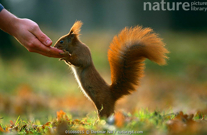Red squirrel feeding from hand {Scuirus vulgaris} Germany  ,  EUROPE,FEEDING,GERMANY,HANDS,MAMMALS,PEOPLE,RODENTS,SQUIRRELS,TAME,VERTEBRATES  ,  Dietmar Nill