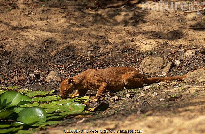 Fossa drinking at pool {Cryptoprocta ferox} Western Dry Forest, Madagascar  ,  CARNIVORES,DRINKING,FOSSAS,MADAGASCAR,MAMMALS,PLANTS,TROPICAL DRY FOREST,VERTEBRATES,WATER  ,  Pete Oxford