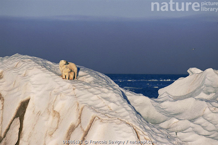 Polar bear and cub on drifting iceberg {Ursus maritimus} summer, Svalbard, Norway  ,  ARCTIC,BABIES,BEARS,CARNIVORES,CUBS,EUROPE,FAMILIES,ICE,LANDSCAPES,MAMMALS,MARINE,NORWAY,POLAR,SCANDINAVIA,sea,SNOW,SUMMER,two,VERTEBRATES,young, Scandinavia  ,  Francois Savigny