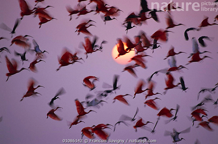 Mixed flock of Red, White and Black ibises taking off at sunset  Llanos, Hato el Frio, Venezuela  ,  ABSTRACT,ARTY SHOTS,BIRDS,FLOCK,FLYING,FRIO,FS,HORIZONTAL,LLANOS,MIXED SPECIES,SAVIGNY,SOUTH AMERICA,SUNSET,TAKE OFF,VENEZUELA  ,  Francois Savigny