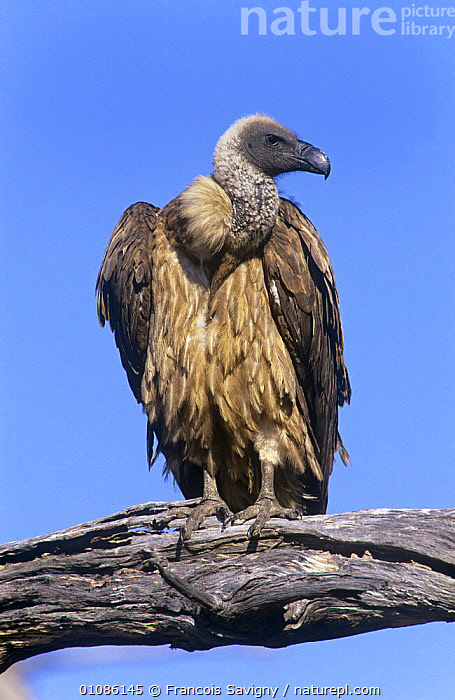 Cape vulture {Gyps coprotheres} perched on branch, Moremi NP, Botswana  ,  AFRICA,BIRDS,BIRDS OF PREY,CUTOUT,NP,PORTRAITS,RESERVE,VERTEBRATES,VERTICAL,VULTURES,National Park  ,  Francois Savigny