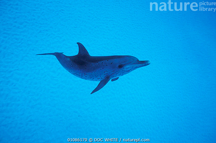 Atlantic spotted dolphin {Stenella frontalis} Bahamas  ,  DOLPHINS,CARIBBEAN,CETACEANS,ONE,SINGLE,UNDERWATER,MARINE,MAMMALS,BLUE,West Indies, Mammals  ,  DOC WHITE