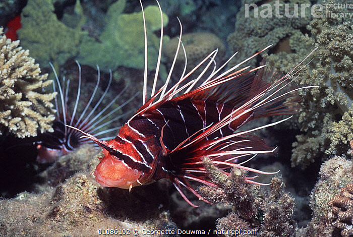 Clearfin lionfish {Pterois radiata} Red Sea  ,  CORAL REEFS,FISH,HORIZONTAL,LIONFISH,MARINE,OSTEICHTHYES,RED,RED SEA,SPINES,UNDERWATER,VERTEBRATES  ,  Georgette Douwma