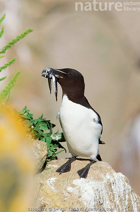 Razorbill with sand eels in beak {Alca torda} June, UK.  ,  AUKS,BIRDS,BEAKS,EUROPE,EATING,FEEDING,FISH,SANDEELS,ROCKS,SEABIRDS,VERTICAL,UK,PORTRAITS,United Kingdom,British, United Kingdom  ,  DAVID TIPLING