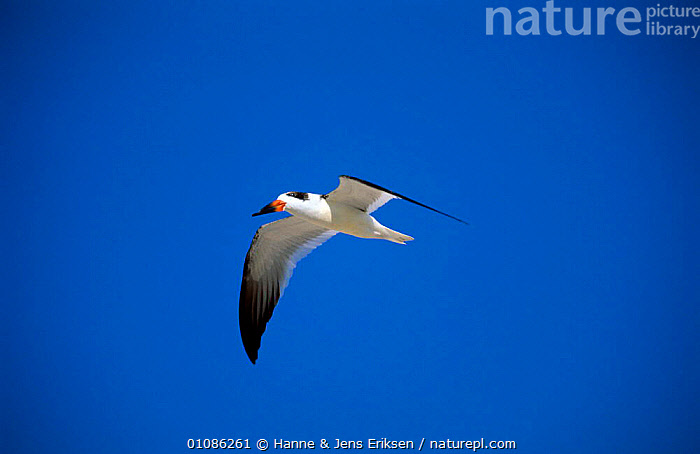 Black skimmer in flight {Rynchops nigra} central Florida, USA, October  ,  BIRDS,FLYING,HORIZONTAL,PORTRAITS,SEABIRDS,SKIMMERS,USA,VERTEBRATES,WINGS,North America  ,  Hanne & Jens Eriksen