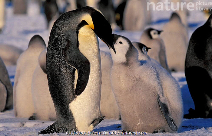 Emperor penguin feeding chick {Aptenodytes forsteri} Auster EP Rookery Australian Antarctic  ,  FLIGHTLESS,PARENTAL,PENGUINS,CHICKS,TERRITORY,COLONY,EATING,ANTARCTICA,BIRDS,FAMILIES,YOUNG,GROUPS,JUVENILE,SEABIRDS, Seabirds  ,  Pete Oxford